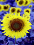 Sunflower Photographic Print by Abdul Kadir Audah