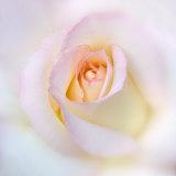 Rosa Stampa fotografica di Diane Miller