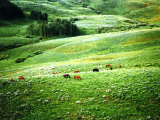 Lush Hillside with Horses in the Middle Ground, Colorado Rockies, Colorado, USA Photographic Print by Margaret L. Jackson