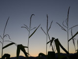 Corn Silhouetted by a Late Sunset Photographic Print by John Churchman