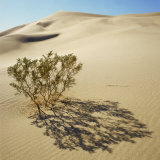 Ibex Dunes, Creosote Bush, Larrea Tridentata, in Sand Dunes, Death Valley National Park, California Photographic Print by Deon Reynolds