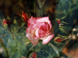 Pink Rose with Abstract Background Photographic Print by Margaret L. Jackson