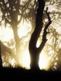 Sunrise Through Trees as Fog Clears, Northern California Photographic Print by Diane Miller