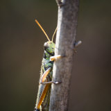 Close-Up of an Adult American Bird Grasshopper, Schistocerca Americana Photographie par Joshua Hultquist