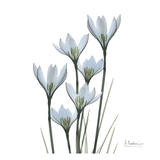 White Rain Lily III Prints by Albert Koetsier