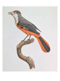 Orange Jay Giclee Print by Jacques Barraband