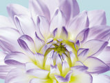 Dahlia in Teal I Print by George Fossey
