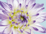 Dahlia in Teal II Prints by George Fossey