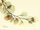 Sage Eucalyptus Leaves II Affiches par Albert Koetsier
