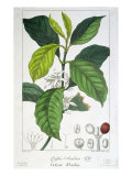 Coffea Arabica Giclee Print by Pancrace Bessa