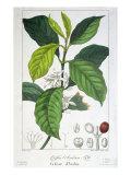 Coffea Arabica Giclee Print by Pancrace Bessa