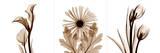Sepia Floral III Posters by Albert Koetsier