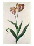 Tulip Tulip Giclee Print by Georg Dionysius Ehret