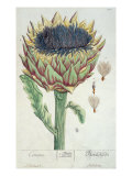 Artichoke, from 'Herbarium Blackwellianum', 1757 Giclee Print by Elizabeth Blackwell