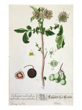Potato Plant and Fruit, Plate from 'Herbarium Blackwellianum', Published 1757 in Nuremberg, Germany Giclee Print by Elizabeth Blackwell