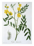 Cassia from 'Phytographie Medicale' by Joseph Roques Giclee Print by L.f.j. Hoquart