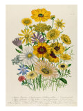 Daisies, Plate 31 from 'The Ladies' Flower Garden', Published 1842 Giclee Print by Jane W. Loudon