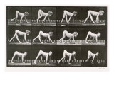 Handicapped Boy Crawling, plate 539 from 'Animal Locomotion', 1887 Giclee Print by Eadweard Muybridge