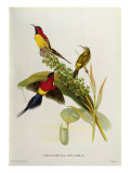 Nectarinia Gouldae from 'Tropical Birds' Giclee Print by John Gould