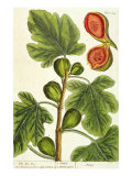 The Fig Tree, Plate 125 from &#39;A Curious Herbal&#39;, published 1782 Giclee Print by Elizabeth Blackwell