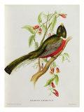 Trogon Ambiguus Giclee Print by John Gould