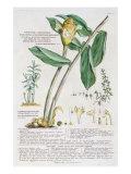 Zingiber latifolium and Amomum, 1754 Giclee Print by Georg Dionysius Ehret