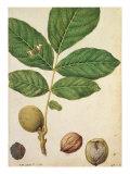Walnut, c.1568 Giclée-Druck von Jacques Le Moyne