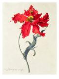 Tulip: Perroquet Rouge Giclée-tryk af Georg Dionysius Ehret