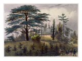 The Cedar of Lebanon and the Labyrinth at the Jardin des Plantes, Paris Giclee Print by Philippe Benoist