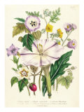 Devil's Trumpet, Plate 46 from 'The Ladies' Flower Garden', Published 1842 Giclee Print by Jane W. Loudon