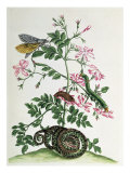 Jasmine with Snake, Moth, Caterpiller and Chrysalis, Plate 46 from `Over de Voorteeling&#39;, 1730 Giclee Print by Maria Sibylla Graff Merian