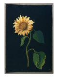 Sunflower Giclee Print by Mary Granville Delany