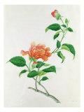 Hibiscus Giclee Print by Georg Dionysius Ehret