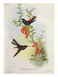Urochroa Bougieri Giclee Print by John Gould