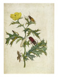 Cardos Spinosus: Beetles and Caterpillars, plate 69 from &#39;Over de Voorteling&#39;, 1730 Giclee Print by Maria Sibylla Graff Merian