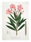 Oleander from 'Phytographie Medicale' by Joseph Roques Giclee Print by L.f.j. Hoquart