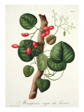 Menispermum from 'Phytographie Medicale' by Joseph Roques Giclee Print by L.f.j. Hoquart