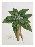 Mandragora Officinarum from 'Phytographie Medicale' by Joseph Roques Giclee Print by L.f.j. Hoquart