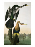 Black-Billed Darter, from 'Birds of America', engraved by Robert Havell Giclee Print by John James Audubon