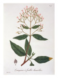 Cinchona from 'Phytographie Medicale' by Joseph Roques Giclee Print by L.f.j. Hoquart