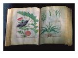 Two Pages Depicting Rose and Garlic, from 'The Book of Simple Medicines' by Mattheus Platearius Giclee Print by Robinet Testard