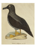 Sooty Albatross Giclee Print by Paul Louis Oudart