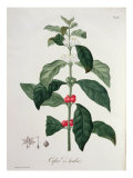 Coffea Arabica from 'Phytographie Medicale' by Joseph Roques Giclee Print by L.f.j. Hoquart