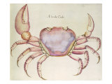 Land Crab Reproduction proc&#233;d&#233; gicl&#233;e par John White