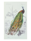 The Peacock, Illustration from 'Dictionnaire Universel d'Histoire Naturelle' by Charles d'Orbigny,  Giclee Print by Edouard Travies
