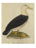 Albatross with Black Eyebrows Giclee Print by Paul Louis Oudart
