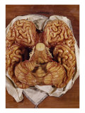 Wax Sculpture of a Brain Giclee Print by Clemente Susini