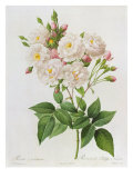 Rosa Noisettiana Giclee Print by Pierre Joseph Redoute
