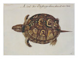 Common Box Tortoise Giclee Print by John White