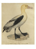 Albatross with a Short Tail Giclee Print by Paul Louis Oudart
